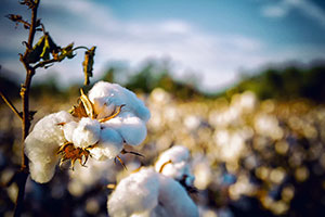 """The Troubled History and Journey of """"Cotton"""""""